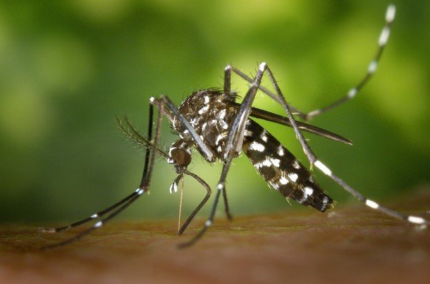 tiger mosquito 49141_1920_7881